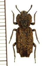 アトコブゴミムシダマシの一種 Zopheridae species ♂ アメリカ合衆国
