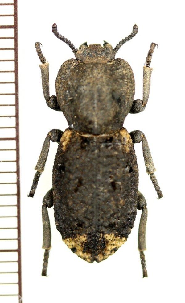 画像1: アトコブゴミムシダマシの一種 Zopheridae species ♂ アメリカ合衆国