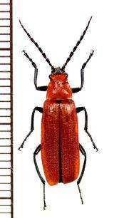ベニボタル擬態のジョウカイボンの一種 Cantharidae species ♀ ベトナム中部
