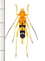 ハレギカミキリの一種 Acrocyrtidus argenteofasciatus ♀ ベトナム北東部