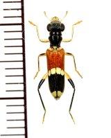 アリバチ擬態のメダカカッコウムシの一種  Hydnocerinae species ベトナム中部