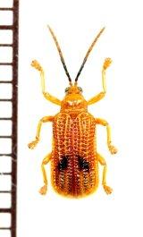 ハムシの一種 Chrysomelidae species  フィリピン(ミンダナオ島)