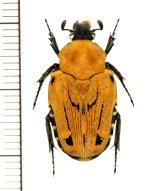 キオビエグリハナムグリ Taeniodera flavofasiata ♀ ベトナム北東部