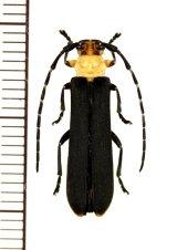 ホタル擬態のカミキリムシの一種 Linda femorata ♀  ベトナム北東部