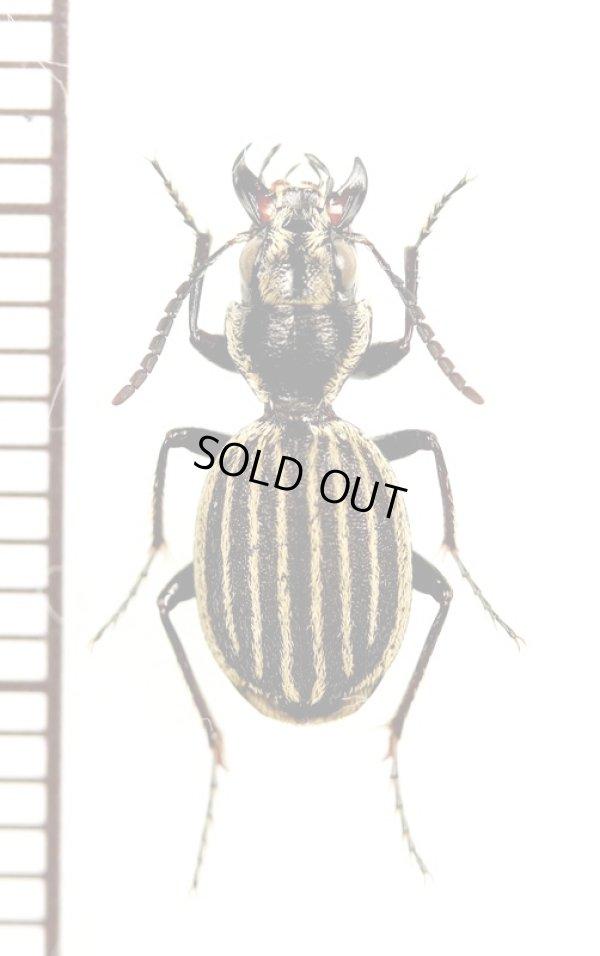 画像1: ゴミムシの一種 Graphipterus sp. エチオピア