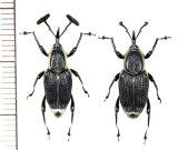 オサゾウムシの一種 Rhynchophoridae species ペア ベトナム南部
