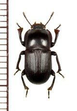 ゴミムシダマシの一種 Tenebrionidae species 南アフリカ