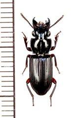 クチキゴミムシの一種 Morion sp. ミャンマー