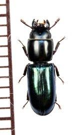 コクヌストの一種 Trogossitidae species ソロモン諸島(ガダルカナル島)
