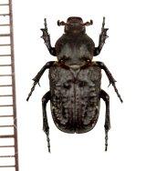 アリノスハナムグリの一種 Scaptobius capensis ♂  南アフリカ