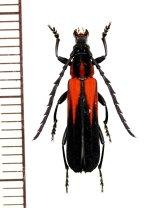 ベニボタル擬態のカミキリムシの一種 Erythrus apiculatus ♂ インドネシア(ボルネオ島)