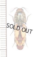 コメツキムシの一種  Elateridae species  フランス領ギアナ