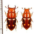 ケシキスイの一種 Glischrochilus tibetanus ペア 中国(チベット自治区)
