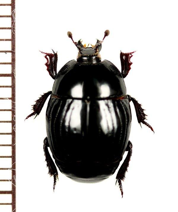 画像1: エンマムシの一種 Histeridae species ロシア