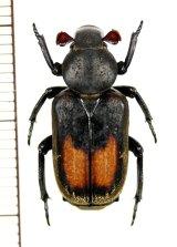 アリノスハナムグリの一種  Clinterocera donckieri ♂  中国(貴州省)