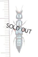 ハネカクシの一種 Staphylinidae species  ブラジル