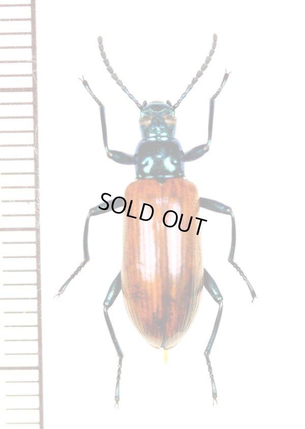画像1: ゴミムシダマシの一種 Tenebrionidae species ♀ パナマ