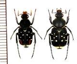 トラハナムグリの一種 Paratrichius sp. ペア  中国(広西チワン族自治区)