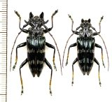 カミキリムシの一種 Pascoea idae ペア インドネシア(セラム島)