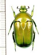 ハナムグリの一種 Hemipharis insularis ♂ オーストラリア