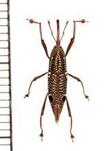 眼状紋を持つオサゾウムシの一種 Rhynchophoridae species ベトナム中部