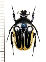 ハナムグリの一種 Trichaulax macleayi ♀ オーストラリア