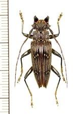 カミキリムシの一種 Sepicana sp. ♂ インドネシア(ニューギニア島)
