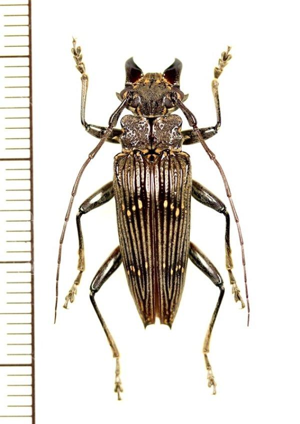 画像1: カミキリムシの一種 Sepicana sp. ♂ インドネシア(ニューギニア島)
