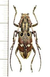 コブヤハズカミキリ族のカミキリムシの一種 Pseudoechthistatus holzschuhi ♀  ベトナム北東部