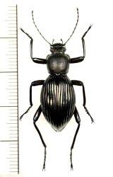 ゴミムシダマシの一種 Tenebrionidae species ベトナム北東部