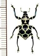 カタゾウムシの一種 Pachyrhynchus reticulatus ♀  フィリピン(ルソン島)