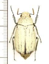 コフキコガネの一種 Cyphochilus sp. ♂ ラオス