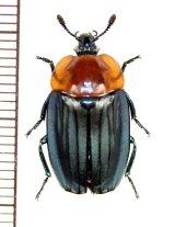 シデムシの一種 Necrophila cyaniventris ラオス