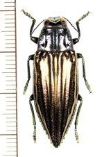 ムネスジタマムシの一種  Chrysodema sp. インドネシア(ケイ諸島:ケイケシル島)