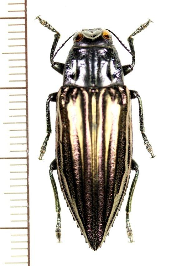 画像1: ムネスジタマムシの一種  Chrysodema sp. インドネシア(ケイ諸島:ケイケシル島)