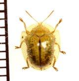 カメノコハムシの一種 Cassidinae species ベトナム中部