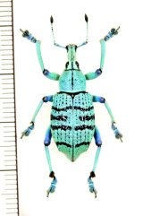 ホウセキゾウムシの一種  Eupholus geoffroyii インドネシア(ニューギニア島)