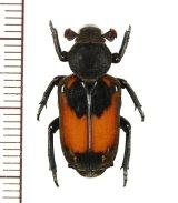 アリノスハナムグリの一種  Clinterocera jucunda ♀  中国(雲南省)
