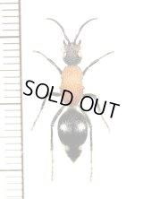 アリバチの一種 Mutillidae species ♀ ナミビア