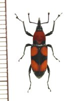 オサゾウムシの一種 Rhynchophoridae species ペルー