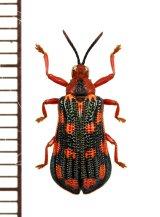 トゲハムシの一種 Hispinae species ペルー