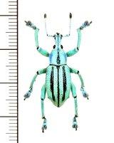 ホウセキゾウムシの一種  Eupholus cuvieri インドネシア(ニューギニア島)