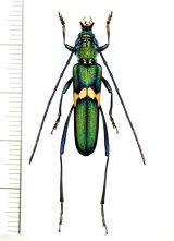 カミキリムシの一種 Polyzonus sp. ♀  ベトナム南部