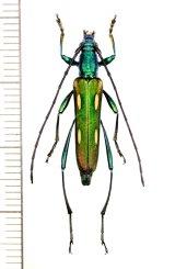 カミキリムシの一種 Polyzonus sp. ♀  ベトナム北東部