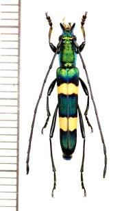 カミキリムシの一種 Polyzonus sp. ♂  ベトナム南部