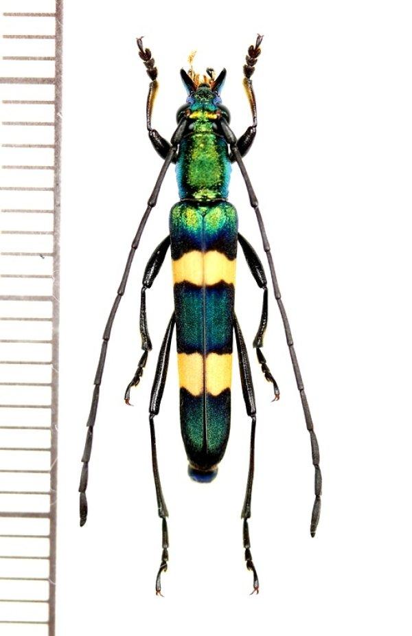 画像1: カミキリムシの一種 Polyzonus sp. ♂  ベトナム南部