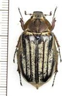 コフキコガネの一種 Melolonthinae species ♀ 中国(四川省)