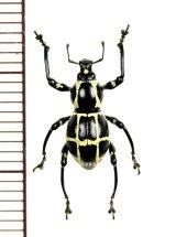 カタゾウムシの一種 Pachyrhynchus moniliferus chevrolati ♂ フィリピン(ボアク島)