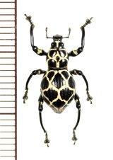 カタゾウムシの一種 Pachyrhynchus marinduquensis  ♀  フィリピン(ボアク島)
