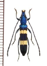 カミキリムシの一種 Polyzonus sp. ♀ タイ